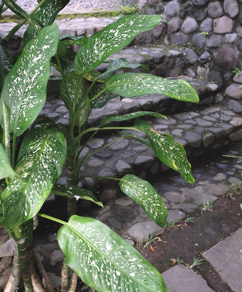 hojas verdes bali